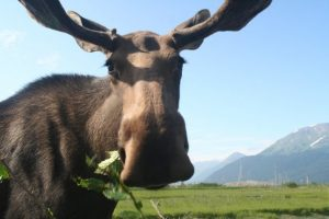' title='moose' height=